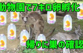 【ポケモンGO】動物園で7キロ卵孵化9連!※しきりにガラル言っとりますが、アローラです